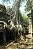 Strom v Ta Prohm 2 Kambodža/Kambodza