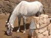 Horse Kanárske Ostrovy/Kanarske Ostrovy