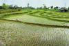 Ryžové pole - Jáva Indonézia/Indonezia
