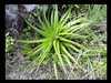 ...kaktus... Brazília/Brazilia